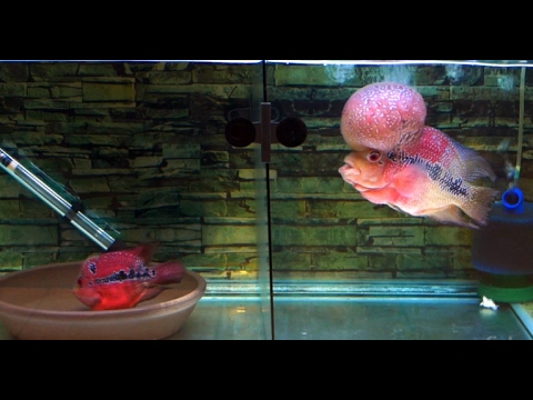 How to Pair Flowerhorn Breeders (flowing water background and music) 30minutes