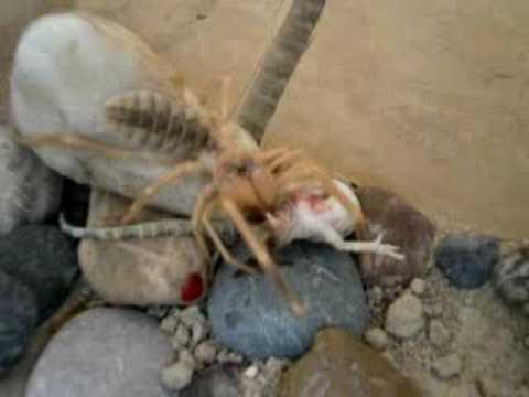 camel spider eats liza...
