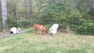 Olympic dogs: Boerboel x Kangal breeding ?  ( Chief n Queen )  7/17