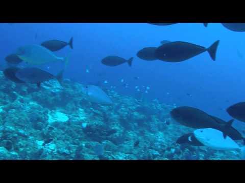 Wettie TV - Spearfishing Dogtooth Tuna 2015