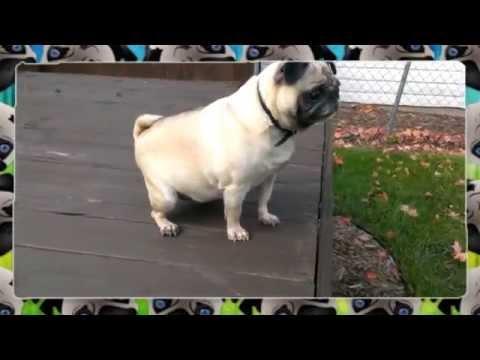 Recopilación de los Pugs más graciosos 2015, Perro carlino con mucho estilo