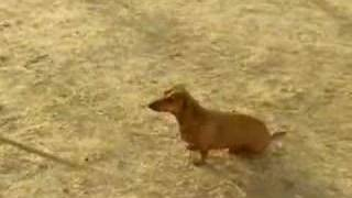 Oxen Vs. Dachshund Sprint Commercial