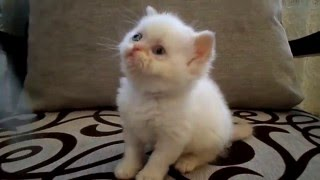 Біленька Персидська Кішка
