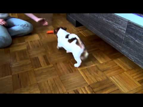FUNNY Jack Russell puppy fighting with carrot