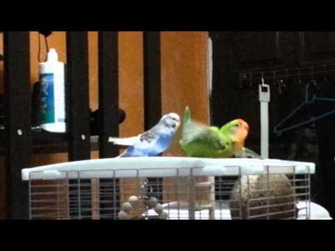 Lovebird mating call.