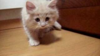 兄弟の子猫 ノルウェージャン・フォレストキャット