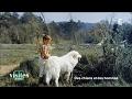 Patou des Pyrénées, chien de montagne - Visites privées