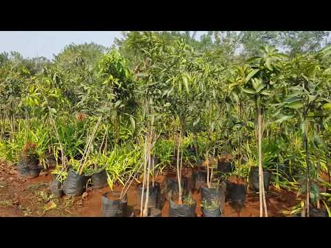 Forest Trees, Garden Center, Wholesale Plant Nursery in Pune