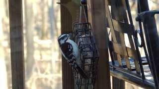 Female Downy Woodpecker At Suet Feeder