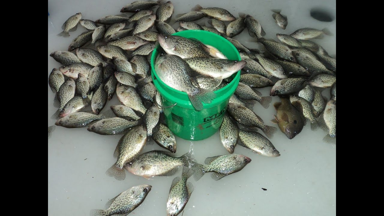 Pre spawn crappie slam 52 fish in 4 hours youtube for Crappie fish facts