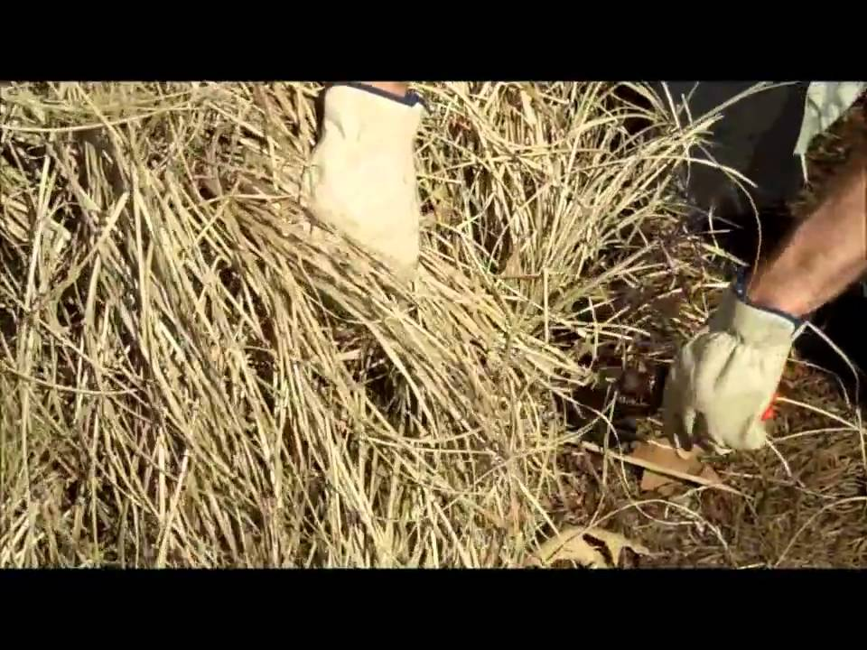Pruning ornamental grass youtube pruning ornamental grass workwithnaturefo