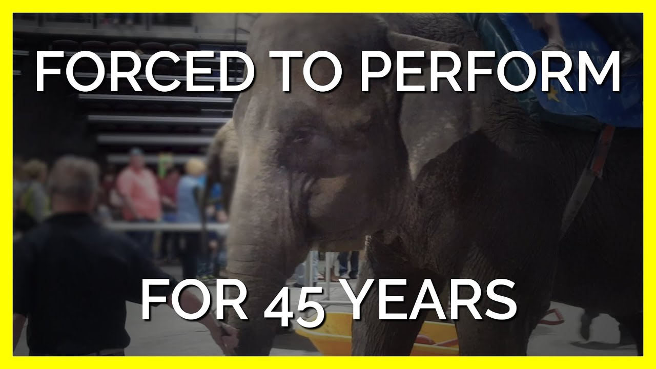 Elephant Forced to Perform for 45 Years Deserves a Second Chance