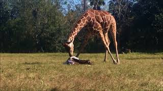 Giraffe Birth Nov 24, 2017