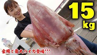 【巨大】海に潜む15kgのお化けイカ!?世界最大?の一夜干しを作ってみよう!お味はイカに・・・