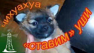 ставим уши чихуахуа (raise ears chihuahua)(Всем привет! Это видео - пример, как можно закрепить уши вашего щенка, чтобы они стояли., 2016-02-07T19:41:28.000Z)
