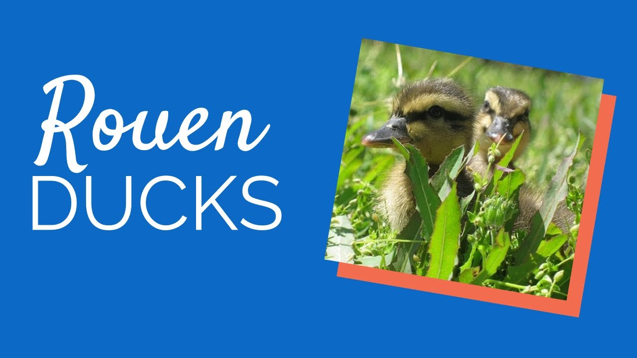 rouen duck for sale at chickens for backyards youtube