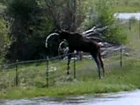 Moose Jumping Fence Youtube