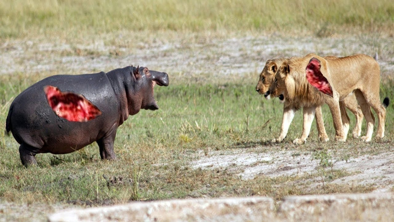 10 معارك فتاكة بين الحيوانات المفترسة التقطتها الكاميرا !!