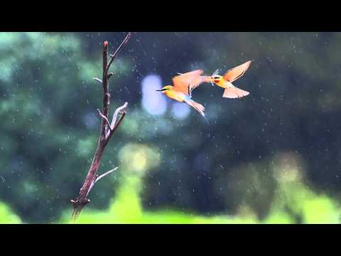 Relaxing Sounds | Birds in The Rain | Meditation Bowls Music play in Background for Sleep Spa Study