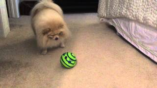 Marley Cute Pomeranian Plays with Wobble Wag Giggle Ball