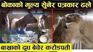 मकवापुरको जंगलभित्र बोकाको मुल्य सुनेर पत्रकार ढले - बाख्राको दुध बेचेर करोडपती || Saanen Goat Nepal