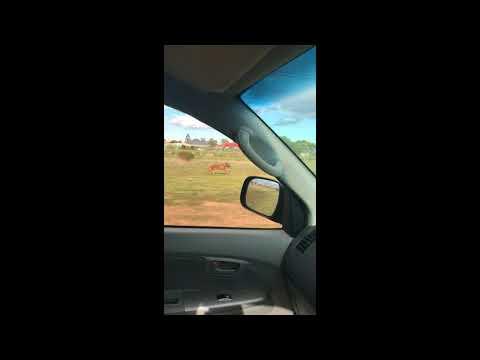 Rhodesian Ridgeback running fast