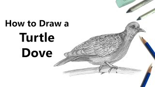How to Draw a Turtle Dove with Pencils [Time Lapse]
