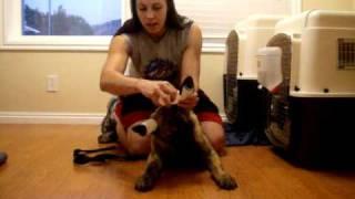 Ear Taping, Dutch Shepherd #2