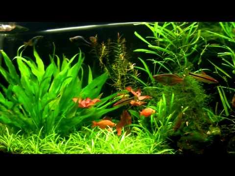 New Guinea Red Irian Rainbowfish - Glossolepis Incisus
