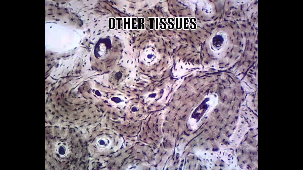 microscope biology slides: muscle tissues (cardiac, smooth, Muscles