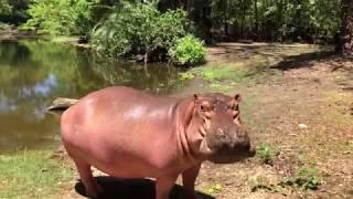 HIT: Owen - najsłynniejszy hipopotam świata!!! Ocalały z tsunami w 2004r. - Haller Park - Kenia