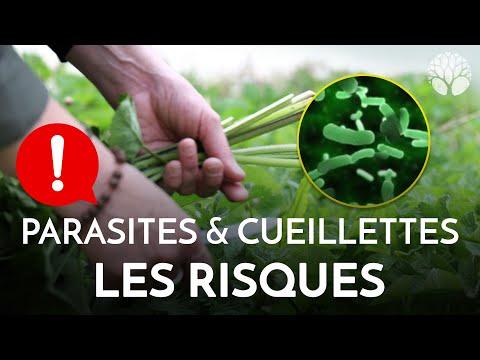 Parasites et cueillettes : les risques