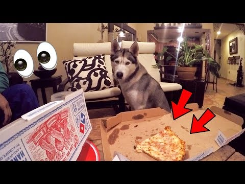 What Ordering Pizza With My Husky Looks Like!