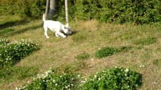 Westie: May Running In The Undo Park, Handa City.