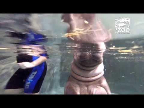 Baby Hippo Fiona's Pool Water is Getting Deeper - Cincinnati Zoo
