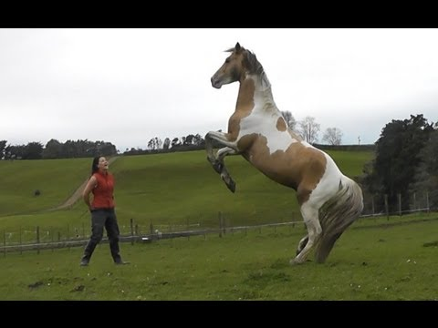 Girl Riding Horse Wallpaper Stallion Rearing Up And Playing In The Paddock Lisey8888