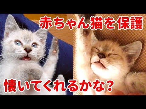 生後2ヶ月で保護した子猫がお腹を見せて懐いてくれる4週間の成長記録