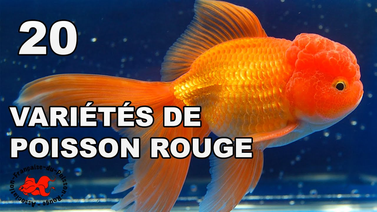 Poisson rouge vari t s et races youtube for Aquarium 20 litres poisson rouge