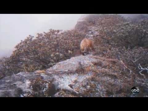 Highest Living Tigers Found In Himalayas | Lost Land Of The Tiger