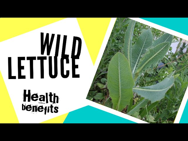 Wild Lettuce health benefits