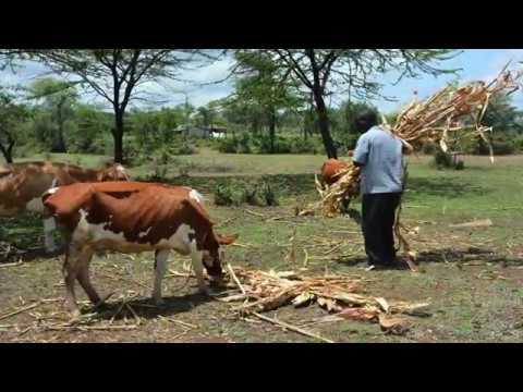Uandalizi wa chakula cha ng'ombe wa maziwa kwa njia ya silage online watch, and free download video or mp3 format