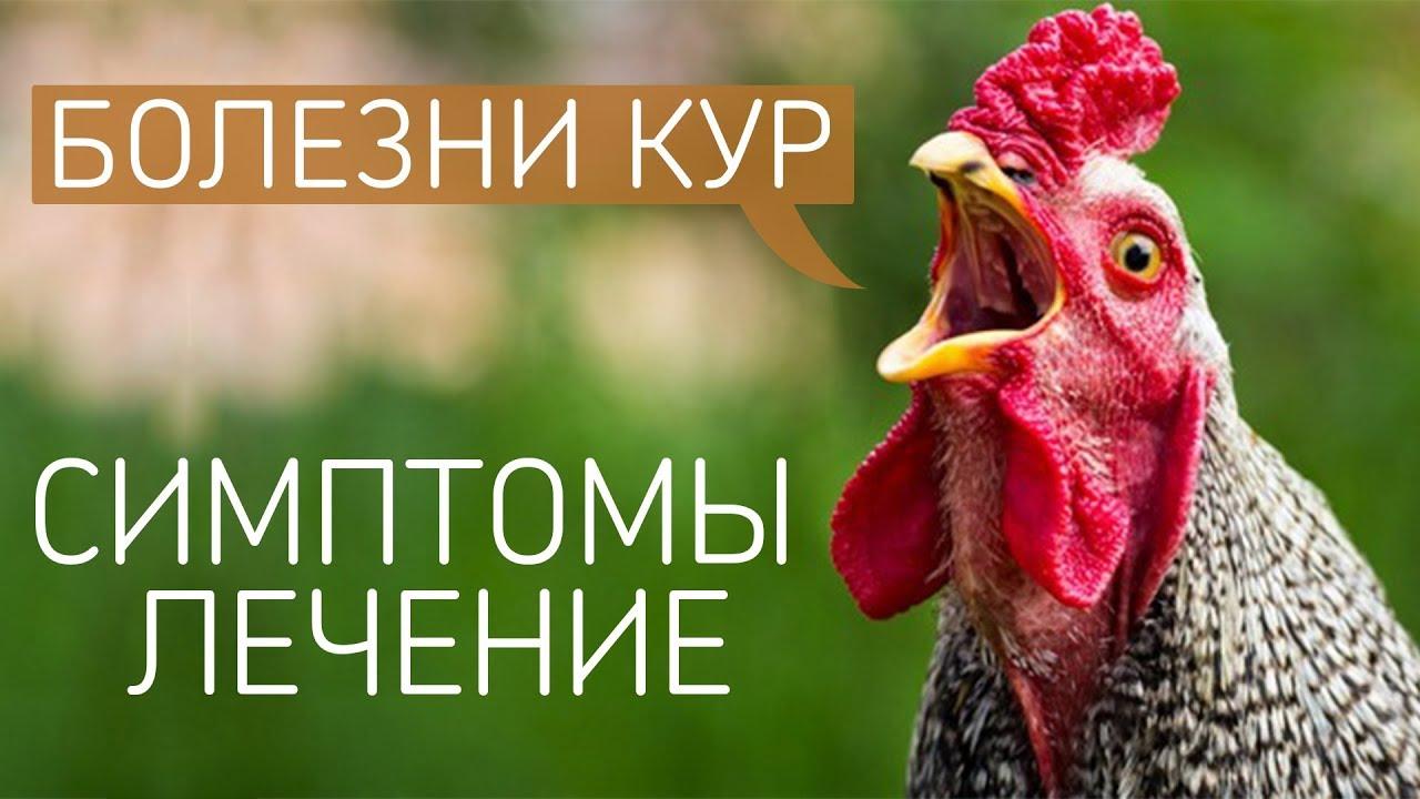 Самые распространенные болезни кур и цыплят