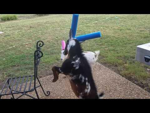 Goat Pool Noodle Battle (Wide)