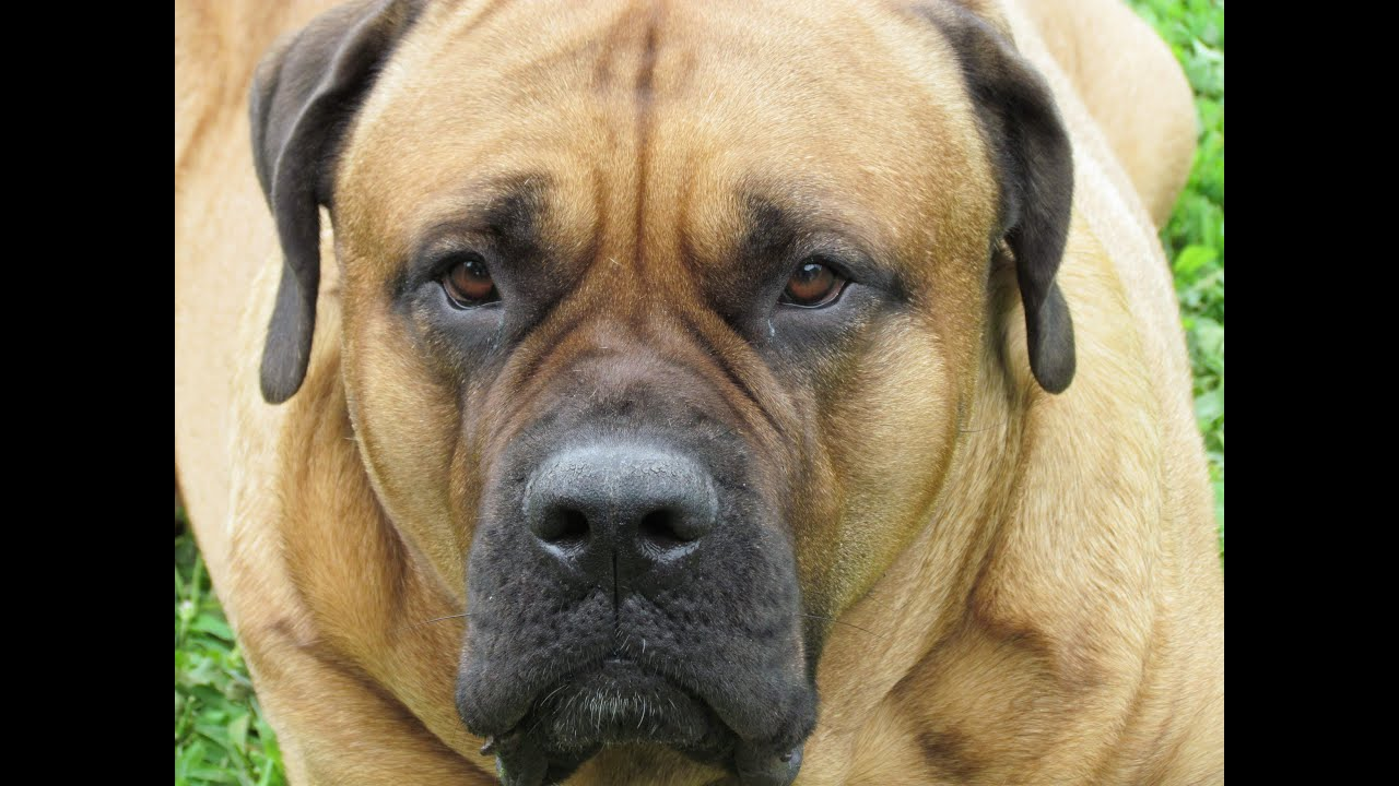 Think, that english mastiff with midgets opinion obvious