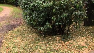 Environnement : la revalorisation des sapins de Noël