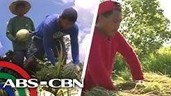 Mga magsasaka sa Albay maagang nag-ani dahil sa bagyong Ambo | TV Patrol