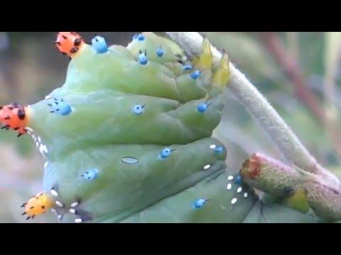 Cecropia Moth Caterpillar with Tachinid Fly egg infestation