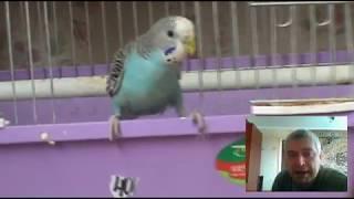 Попугай голубого цвета в видео