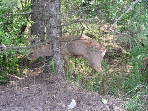 .Охота на  косулю без оружия  Как охотились наши предки Ловушки для выживания.