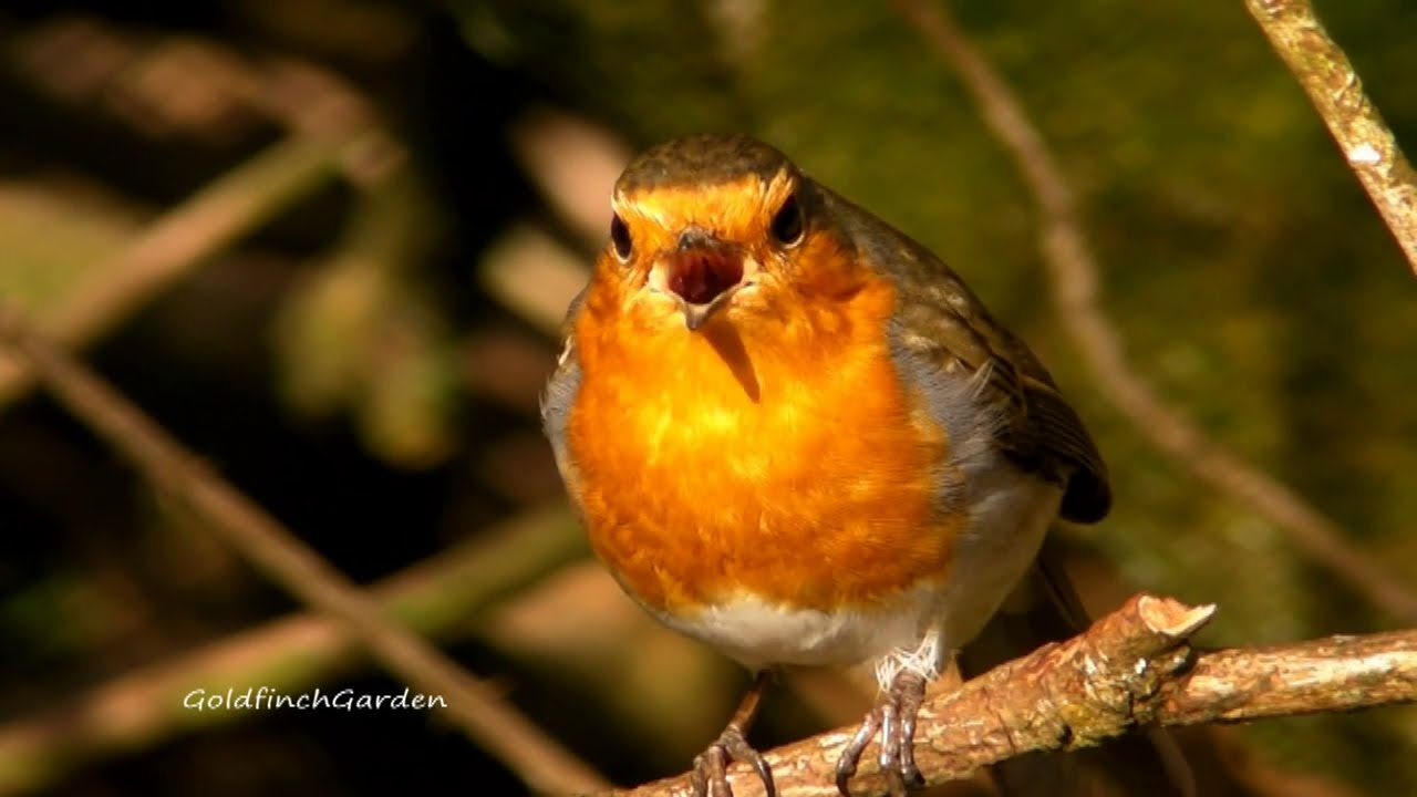 395 Best Images About Birds In Britain On